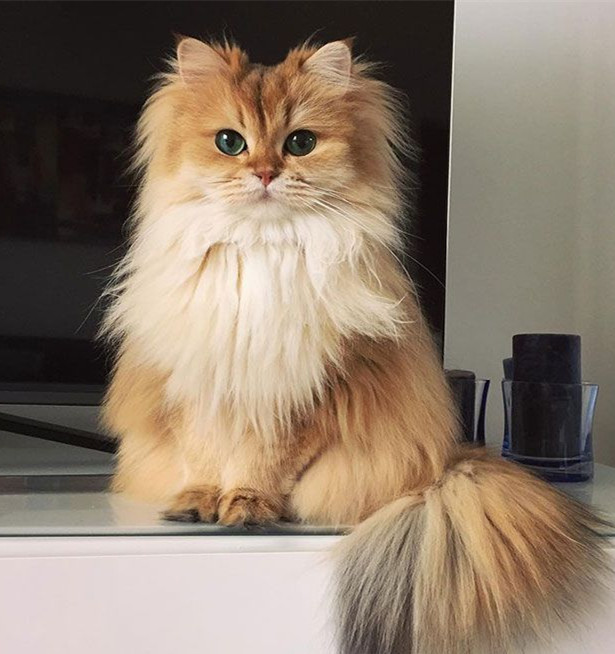 World's Most Photogenic Cat on the Internet, Beautiful British Longhair Smoothie - Popteen Magazine - 1.jpg