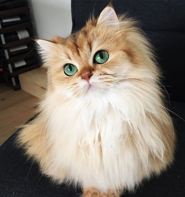 World's Most Photogenic Cat on the Internet, Beautiful British Longhair Smoothie - Popteen Magazine - 2.jpg