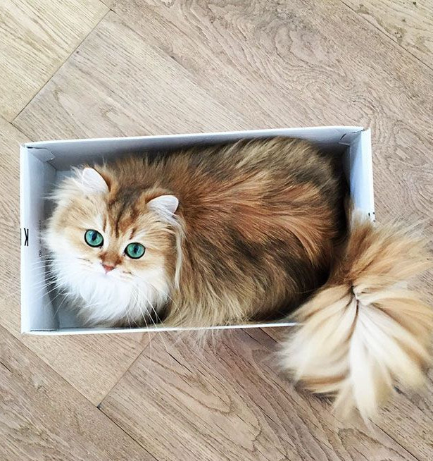 World's Most Photogenic Cat on the Internet, Beautiful British Longhair Smoothie - Popteen Magazine - 4.jpg