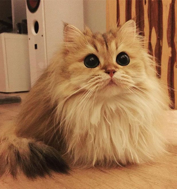 World's Most Photogenic Cat on the Internet, Beautiful British Longhair Smoothie - Popteen Magazine - 5.jpg